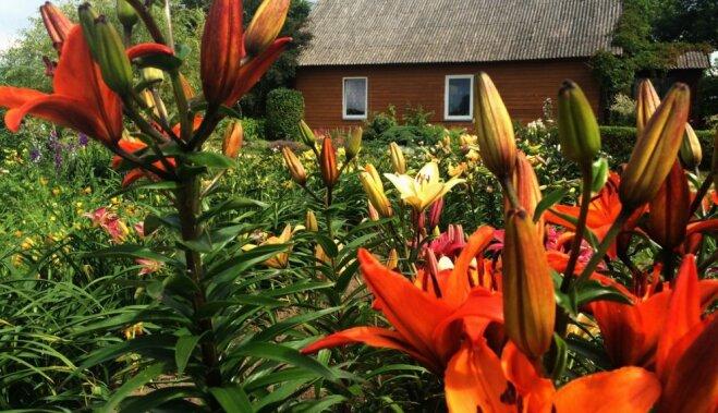 ФОТО: Порадующий и селекционера сад лилий и роз в Курземе