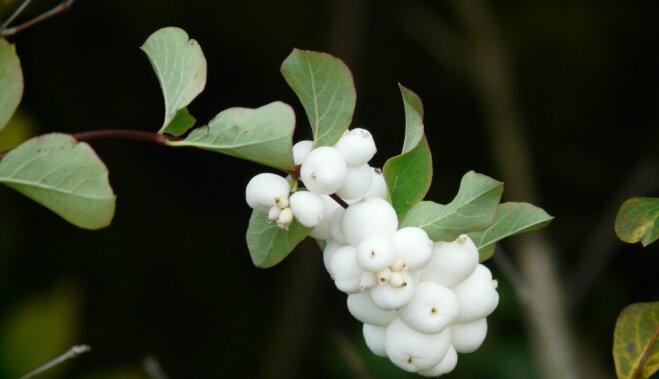 Снежная ягода. Чем украсить зимний сад?