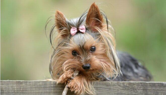 13 пород собак-долгожителей