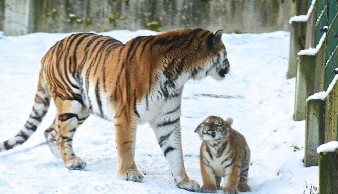 tīģeri, tīģerīši, rīgas zoo, rīgas zoodārzs