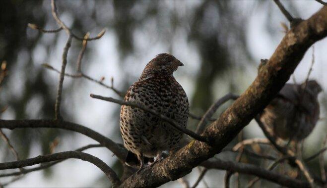 Par 2019. gada putnu izvēlēta mežirbe