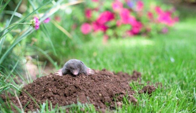 Dārza kari: kā padzīt kurmi un nolīdzināt rakumus