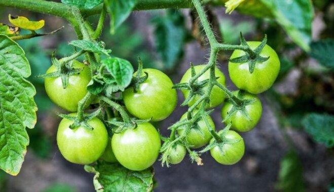 Почему гниют томаты на ветке? Причины и борьба с болезнями