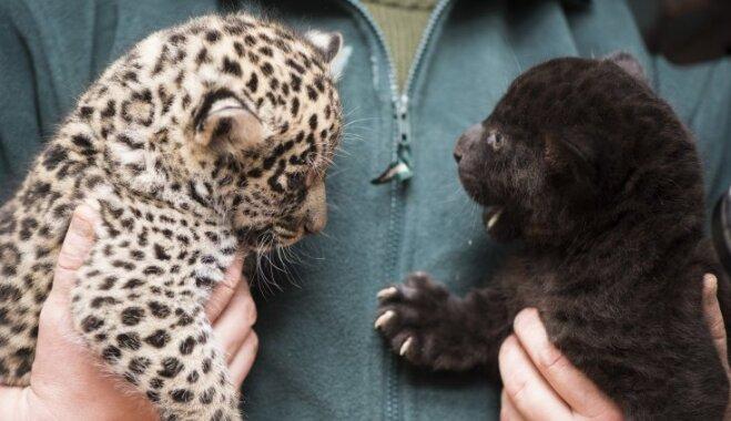 Līdzīgi, bet atšķirīgi – zoodārzā Ungārijā dzimuši īpatnēji jaguāru dvīnīši