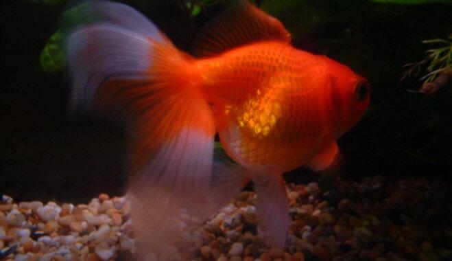 Septiņi fakti par zelta zivtiņām