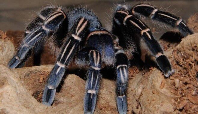 Dzīvnieku izstādē Ķīpsalā būs apskatāmi arī milzu gliemeži un čūskas