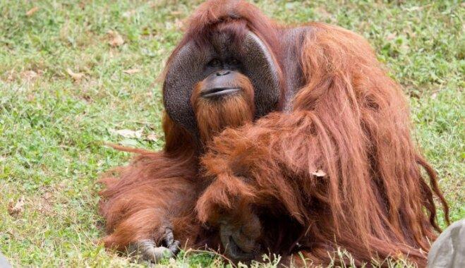 Miris orangutans Šanteks – retais primāts, kas spējis sarunāties zīmju valodā