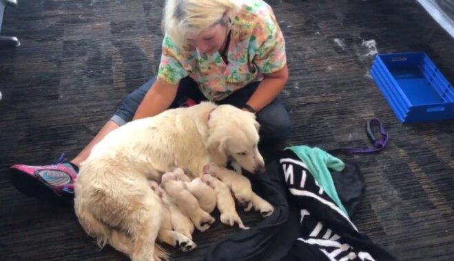 Suns-pavadonis lidostā ASV pēkšņi laiž pasaulē astoņus kucēnus