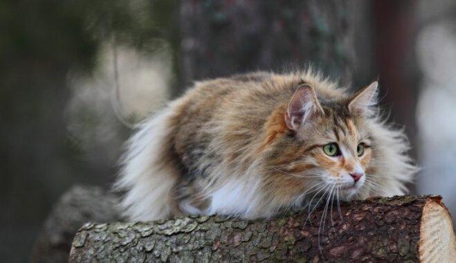 Piedzīvojuši vikingus un līdzīgi lūsim – kā radušies neparastie meža kaķi