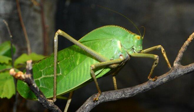 Rīgas zoo Tropu mājā apskatāms viens no lielākajiem kukaiņiem pasaulē