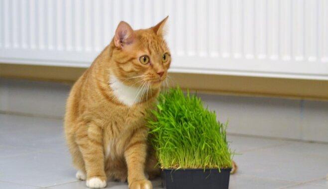 Vaidelote, Rēbuss, Rudulis – mājas meklē rudi kaķi, kas saimniekam noteikti nesīs veiksmi