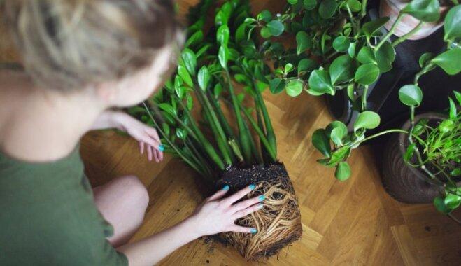 Telpaugu pārstādīšanas sezonu atklājot – ko un kā darīt, lai netraumētu augus
