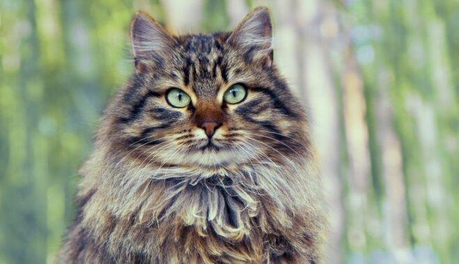 Gan lieli, gan mazi: mīlīgi kaķi, kurus ievērosi auguma dēļ