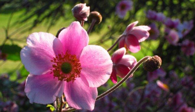 Anemone japnonica