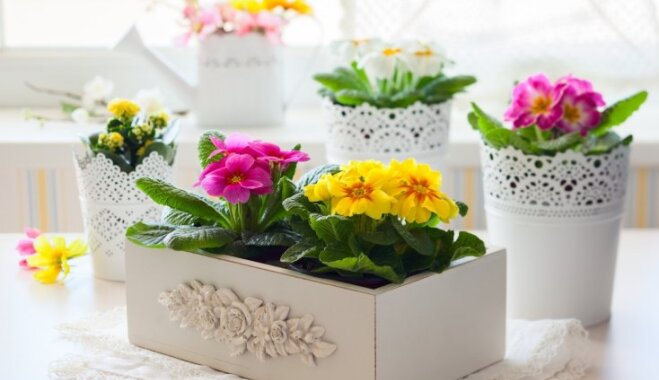Agrās pavasara vēstneses prīmulas – kā rūpēties par nopirkto augu podiņā