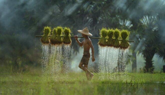 Maģisks skaistums un smags darbs – rīsa lauku strādnieku ikdiena Taizemē