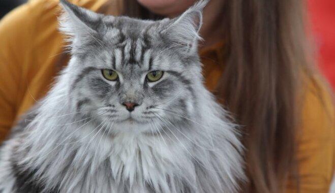 Foto: Vairāk nekā 200 kaķu Rīgā sacenšas par titulu 'Labākais no labākajiem'