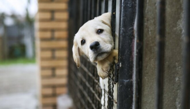 Latvijas Veterinārārstu biedrība rosina samazināt vecuma slieksni suņu čipēšanai