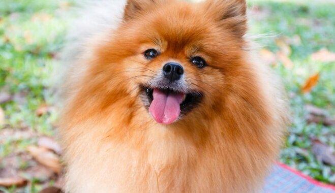 Pirmais un pareizais – mīlīgi suņuki, kurus iesaka nepieredzējušiem saimniekiem
