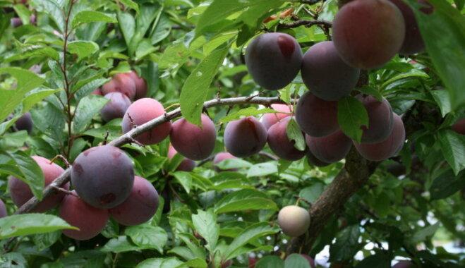 Сорт сливы Ренклод колхозный: фото, отзывы, описание