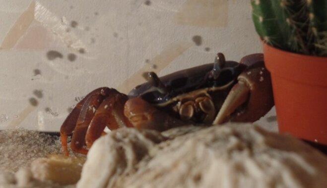 Mājdzīvnieks – krabis: kā Koralis zaudēja divas kājas, bet ieguva gādīgu saimnieci