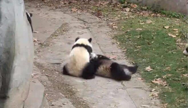 Video: Pandiņa pieturas pie viena ēverģēlību maršruta