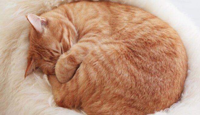 Atpazīs katrs saimnieks: kaķu gulēšanas pozas un to jautrie skaidrojumi