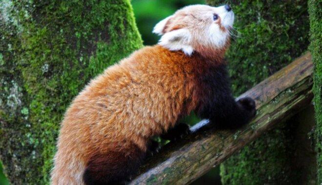 Izdevies atrast sarkano pandu, kura izbēga no zoodārza Ziemeļīrijā