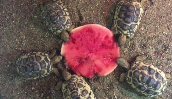 Video: Mazi bruņurupucīši kāri notiesā arbūzu