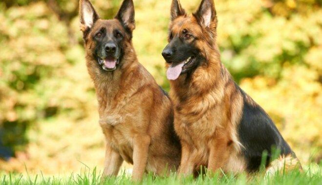 Desmit spēcīgākie suņi pasaulē