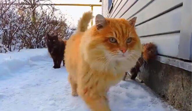 'Kaķlande' – neparasta vieta Krievijā, kur mīt vairāki iespaidīga izmēra Sibīrijas meža kaķi