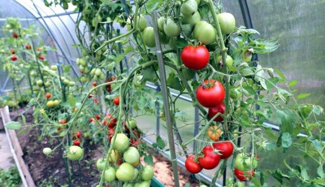Можно ли сажать помидоры с луком 215