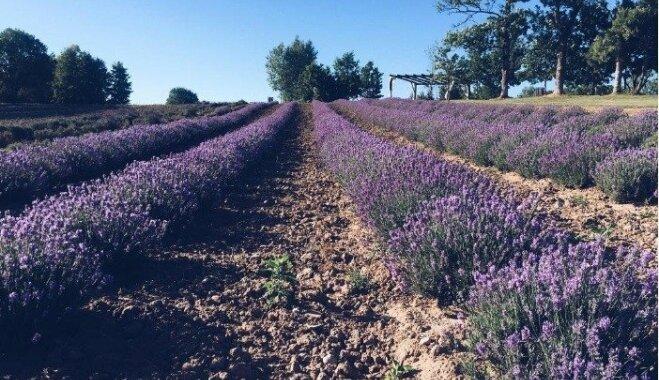 Foto: Kurzemē un Vidzemē zied aromātiskie lavandu lauki