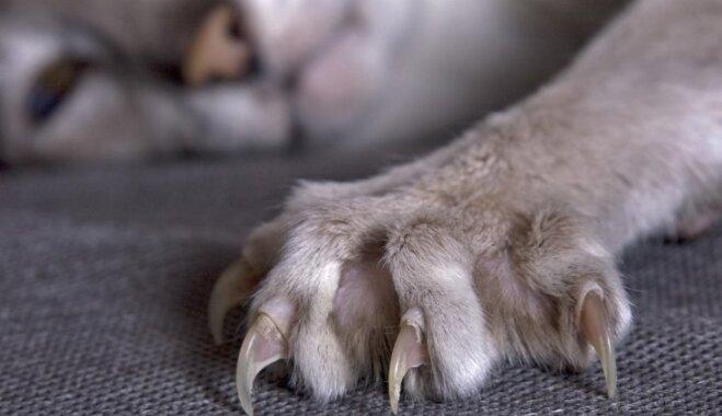 Pūkaino murrātāju 'velnišķā' puse: kaķu izraisīti negadījumi, par kuriem pieteiktas apdrošināšanas atlīdzības