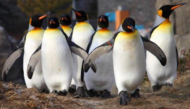 Spelgoņa dēļ Kalgari zoodārzā Kanādā uz iekštelpām pārvesti vairāki pingvīni