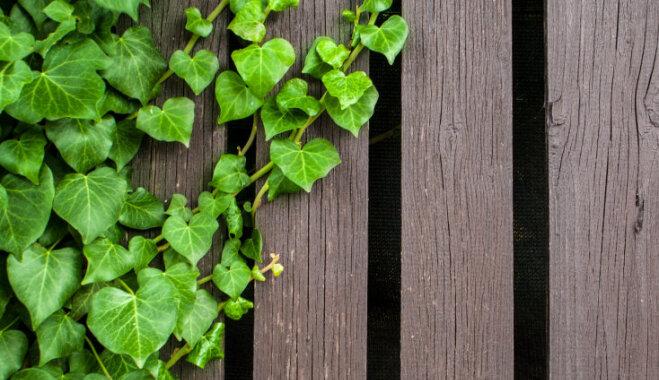 Lapkritis nebiedē – mūžzaļi lapu koki un krūmi dārza dailei