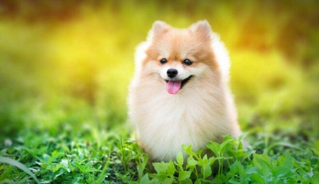 Ja esi mīluļa meklējumos: piemērotākās suņu šķirnes ģimenēm, pilsētām, laukiem