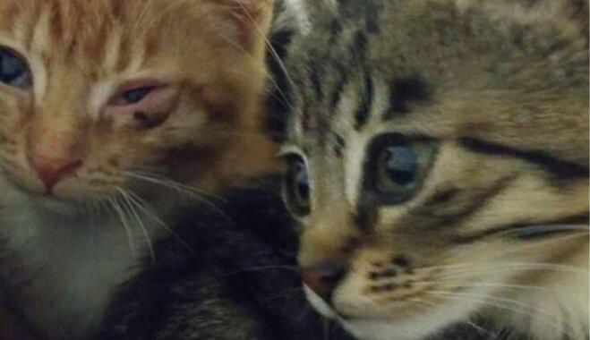 Vīruss atkāpies un parādās spēks – kā klājas kaķēniem, kuriem palīdzēja ziedotāji