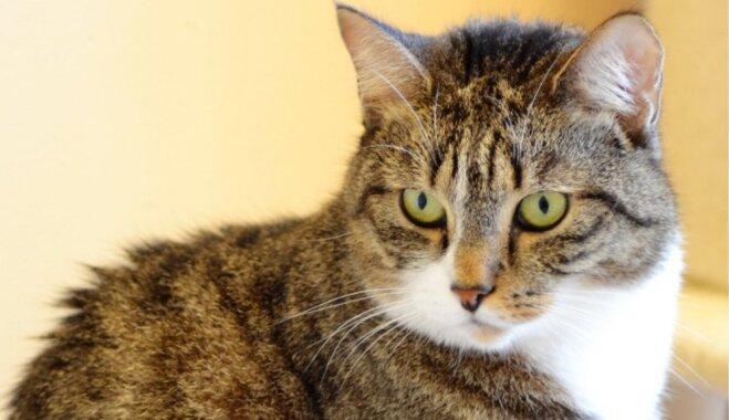 Kaķis 'veselīga dzīvesveida piekritējiem' – mājas meklē trīs apburošas murrātājas