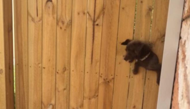 Amizants video: Šunelis prasmīgi izlien pa mazu caurumu sētā