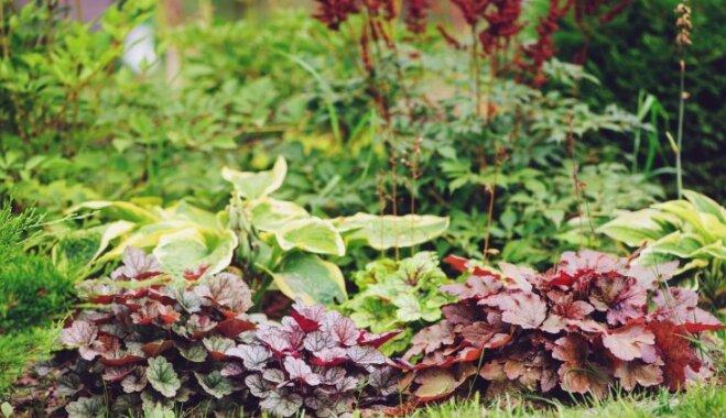 Košumaugs pat ēnainā vietā: heihēra un tās audzēšana dārzā
