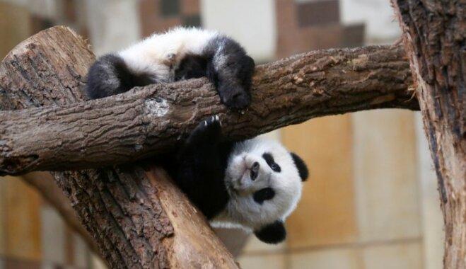 Pārgalvīgie zvēri bērnībā: pandu mazuļi aizkustinošās fotogrāfijās