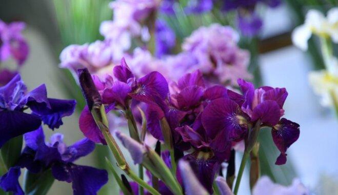Foto: Krāšņi zied jūnija dārza karaļi – bārdainie īrisi