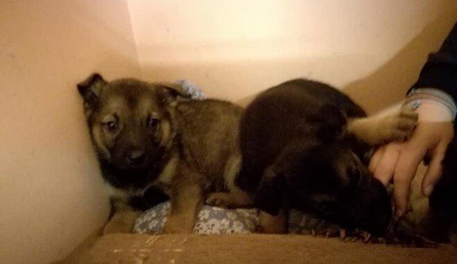 Dzīvnieku biedrībā 'sabiruši' 28 kucēni; lūdz palīdzību mazuļu aprūpei