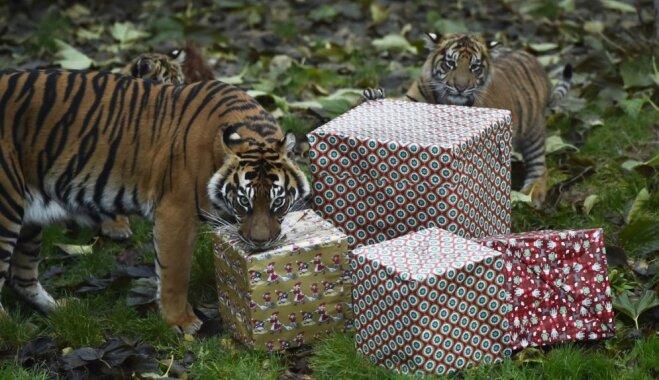 Foto: Priecīgākā diena gadā – zoodārzā Londonā apdāvina zvēriņus