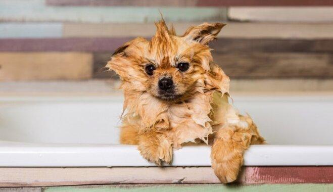 Suņu mazgāšana: cik bieži to veikt un kas jāņem vērā