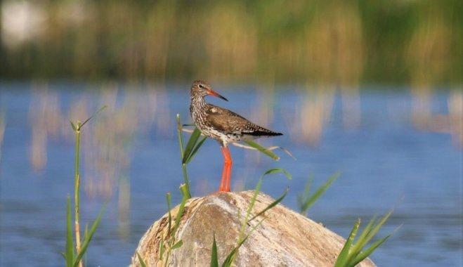 Птицей 2018 года в Латвии объявлен травник-красноножка