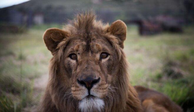 Foto: No Sīrijas kara zonas izglābtā lauva Saīds palaists savvaļā Dienvidāfrikā