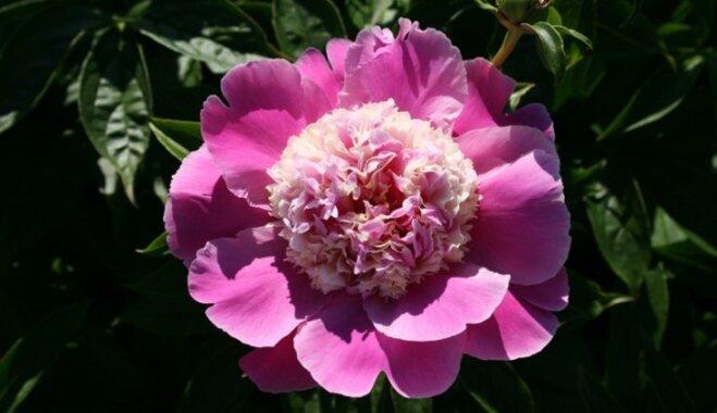 Kas jauns peoniju modē? 6 aktuālas šo ziedu tendences Latvijas dārzos
