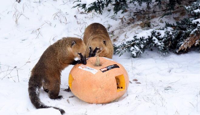 Foto: Rīgas zoo atjaunotais degunlāču āra aploks
